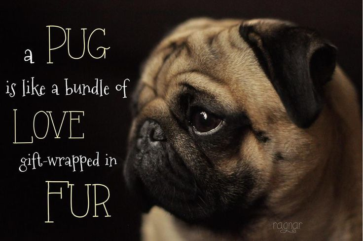 Pug Wallpaper Screensaver Background PUG WALLPAPER SCREENSAVERS 736x488