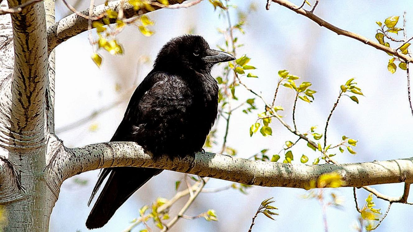 Branch Bird Raven Hd Wallpaper HD Wallpapers 1328x747