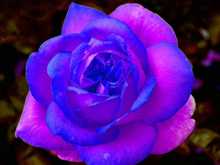 Purple and Pink Roses Wallpaper Blue and Purple Rose Download 736x552