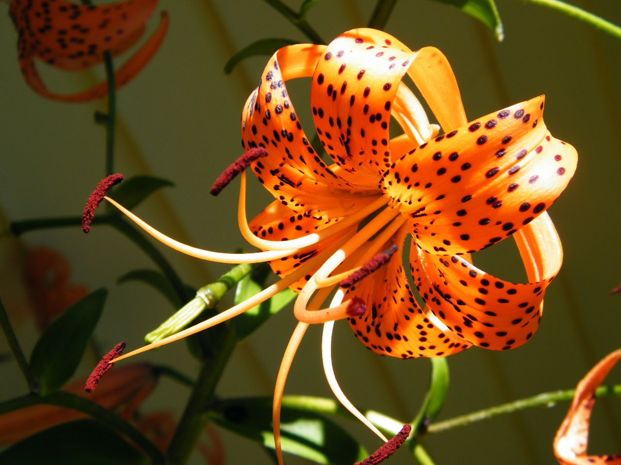 File Name 905242 Tiger Lily Flower Backgrounds by Mark Kennedy on 1280x960