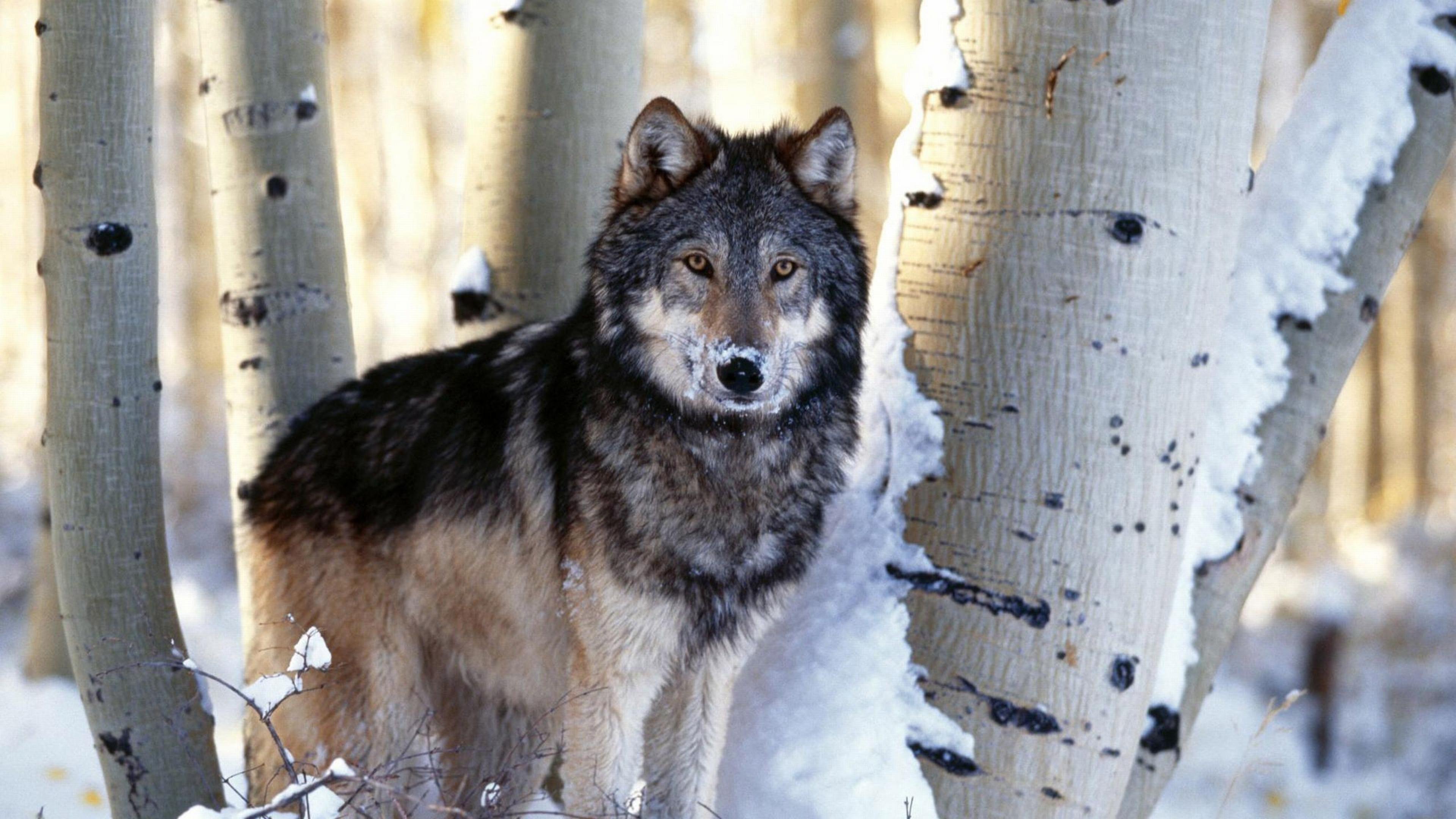 Download Wallpaper 3840x2160 wolf trees snow 4K Ultra HD HD 3840x2160