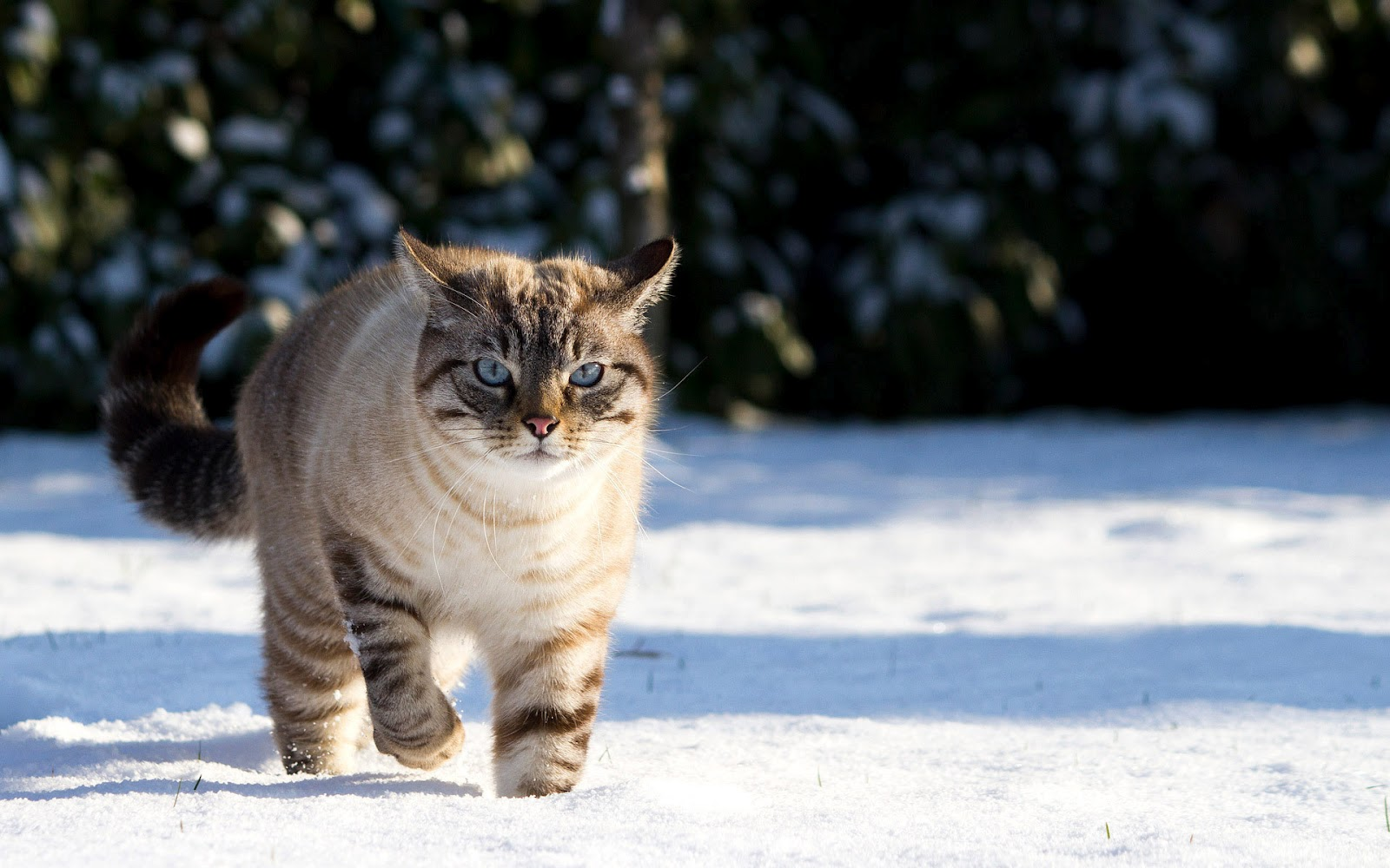 Winter wallpaper with cat in the snow HD Animals Wallpapers 1600x1000