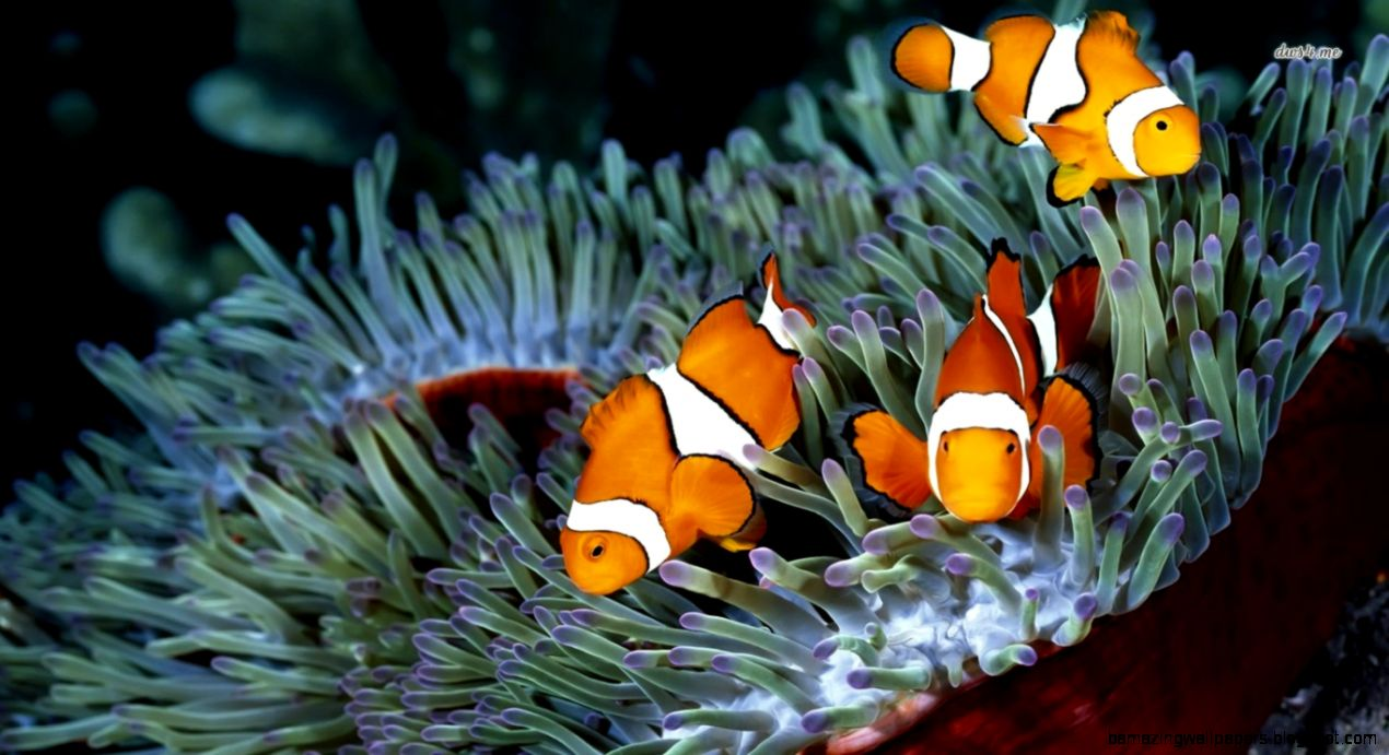 23 Clownfish HD Wallpapers Backgrounds Wallpaper Abyss 1270x691