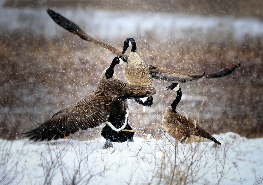 Canada Geese fighting in the snow at megee marsh wildlife area Title 1000x706