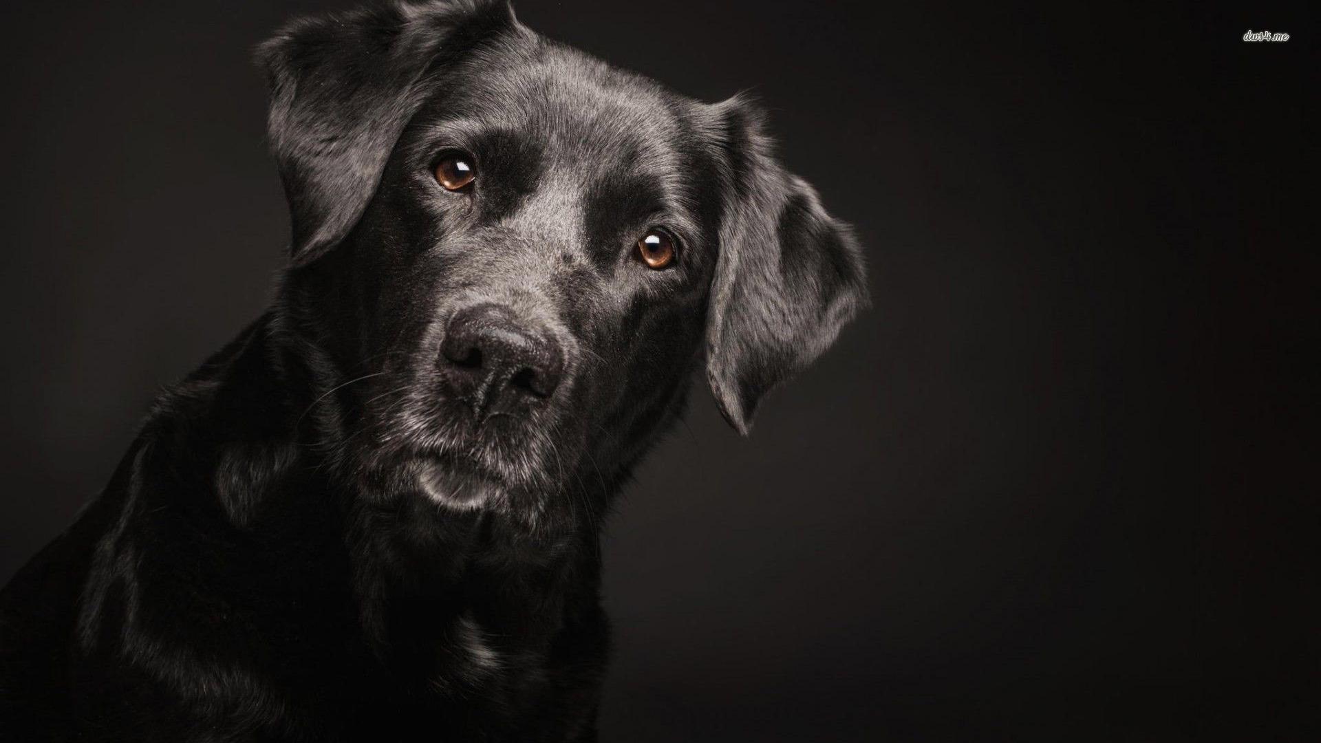 Black Labrador Retriver wallpaper   Animal wallpapers   29801 1920x1080
