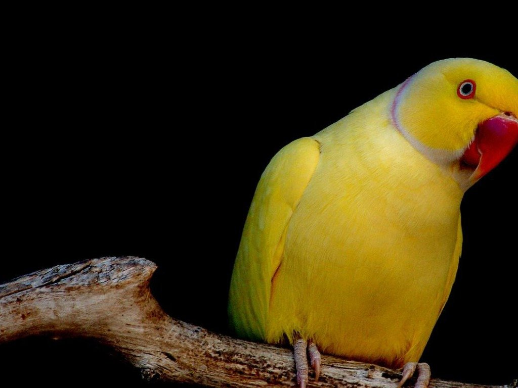 download Parrot Wallpaper HD Wallpapers Pictures Images 1024x768