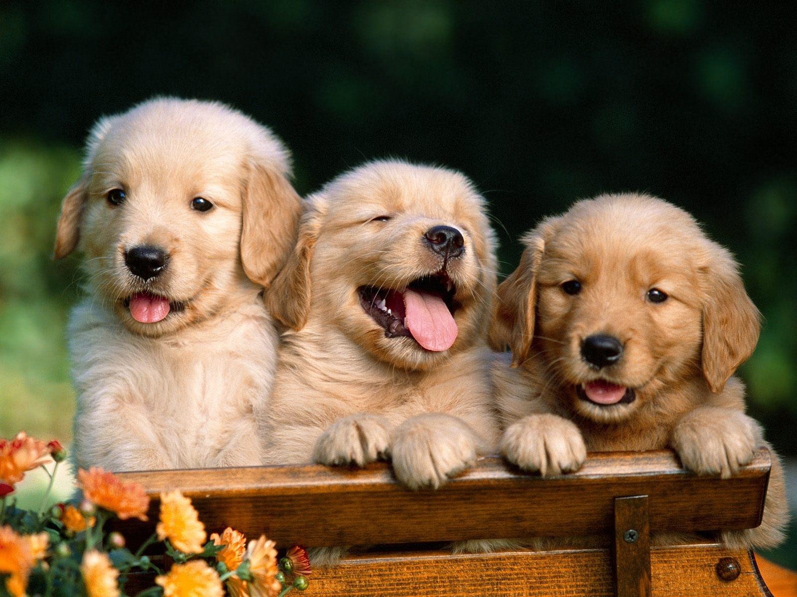 Cute Golden Retriever Puppies Wallpapercercueilscarton 1600x1200