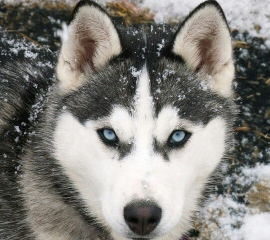 Cool Husky Wallpapers