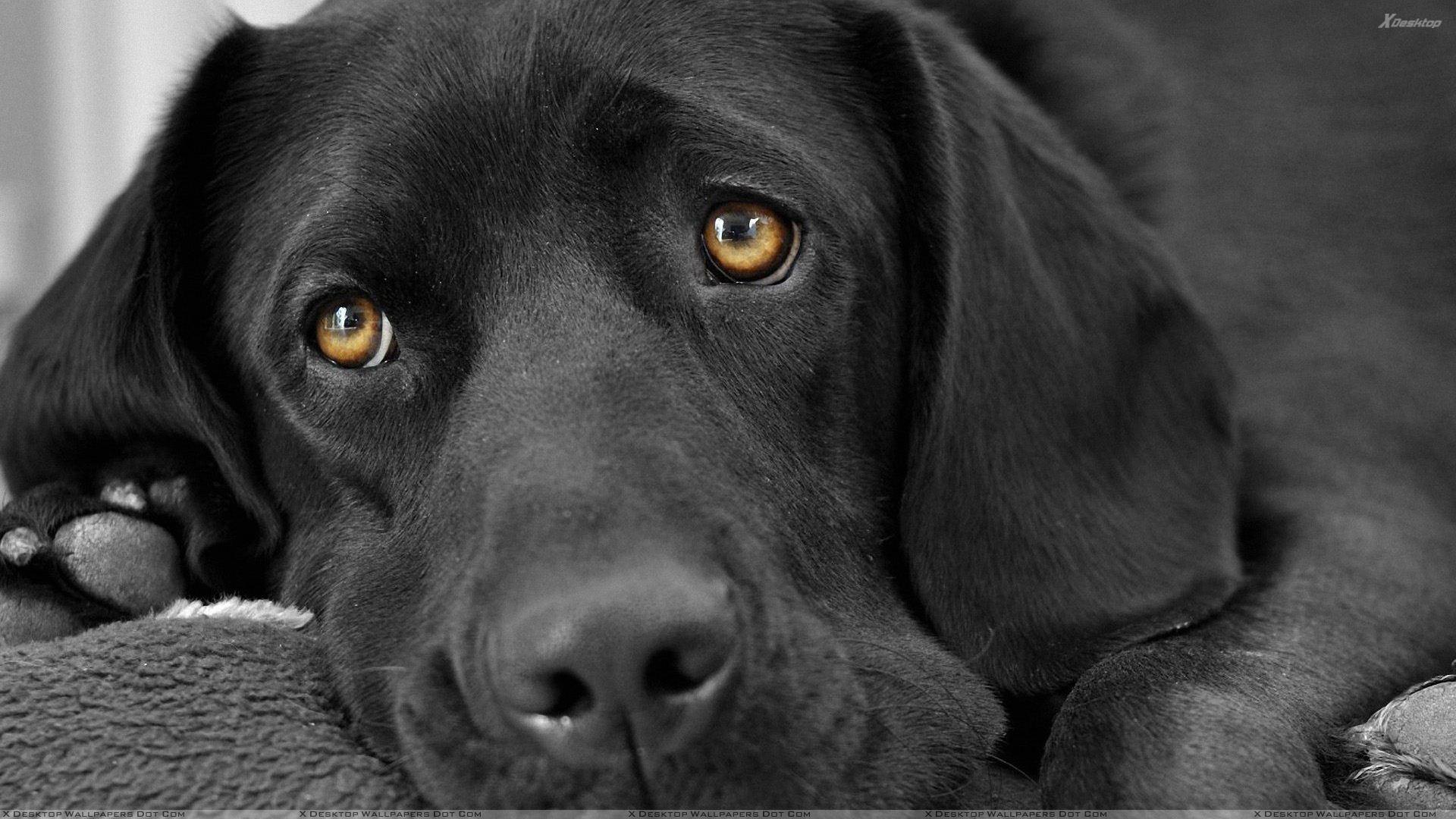 Black Labrador Face Closeup Wallpaper 1920x1080