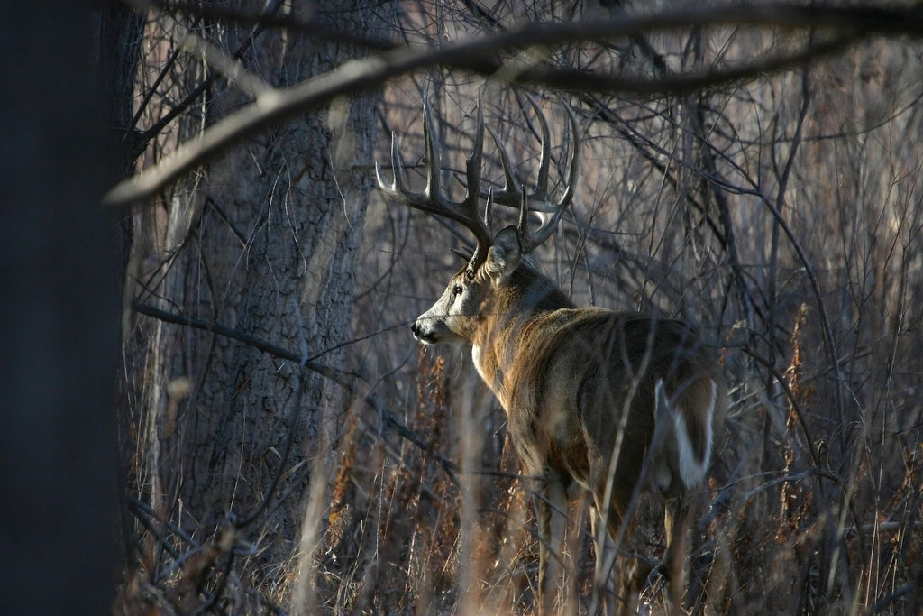 Desktop Backgrounds Whitetail Deer Wallpaper HD 1024x683