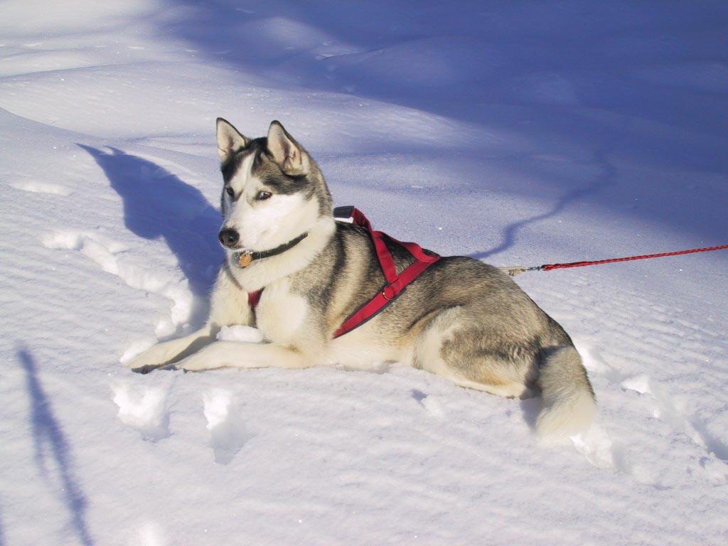 Siberian Husky Winter Dog Wallpaper Normal   The Dog Wallpaper   Best 1024x768
