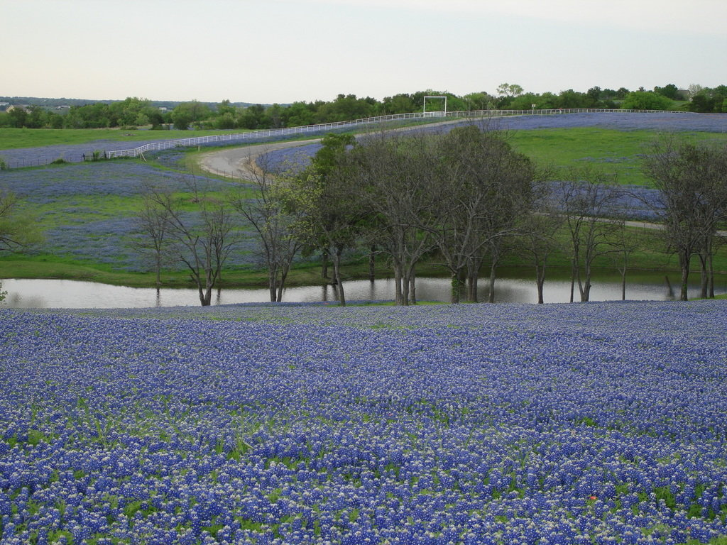 freebluebonnet wallpaper desktopbluebonnet wallpaper iphonetexas 1024x768