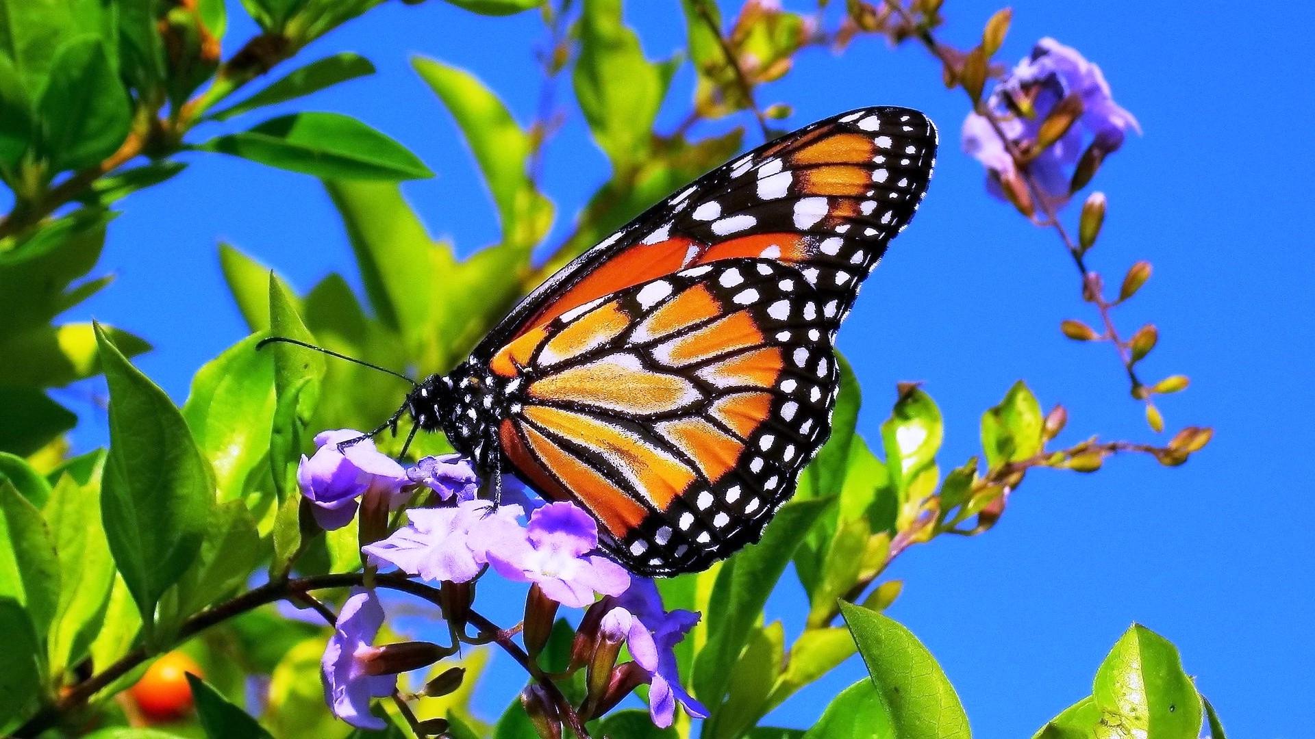 Spring Flower Wallpaper Butterflies 14679 Wallpaper Wallpaper hd 1920x1080