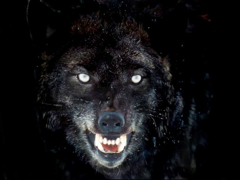Angry black wolf hd pic