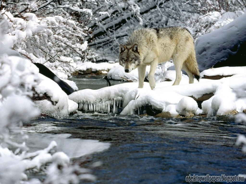 Wolf Animal Desktop Wallpapers 1024x768