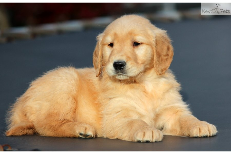 Image Result For Golden Retrievers For Sale In Nh