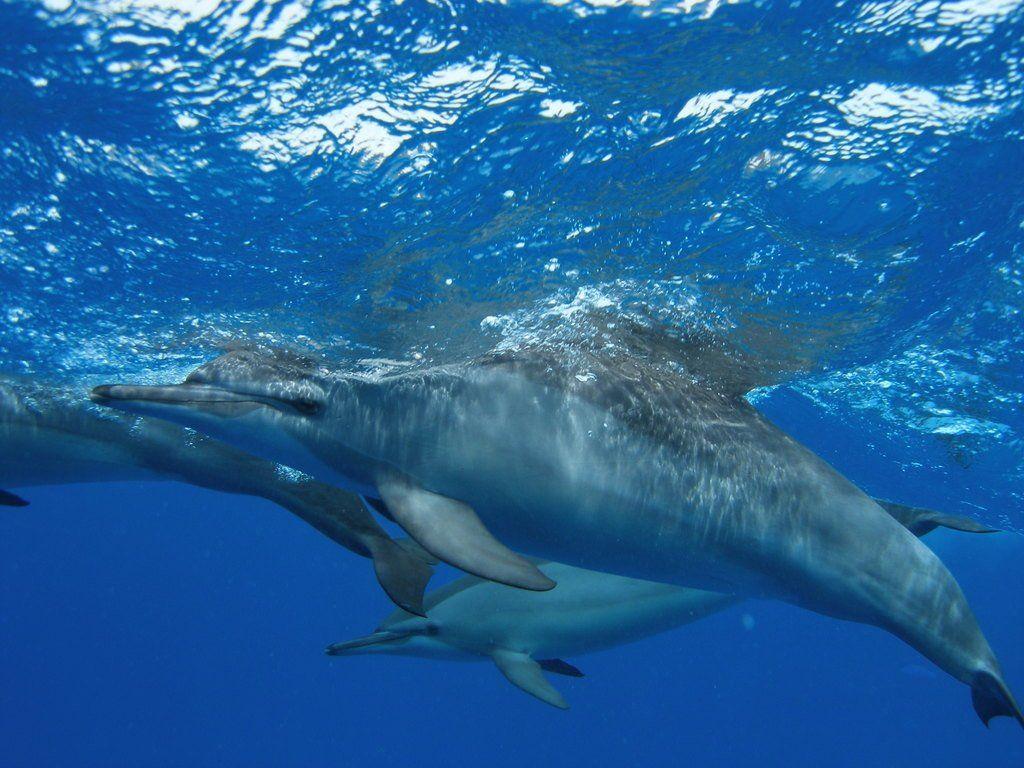 free wallpaper of dolphins wallpapersafari