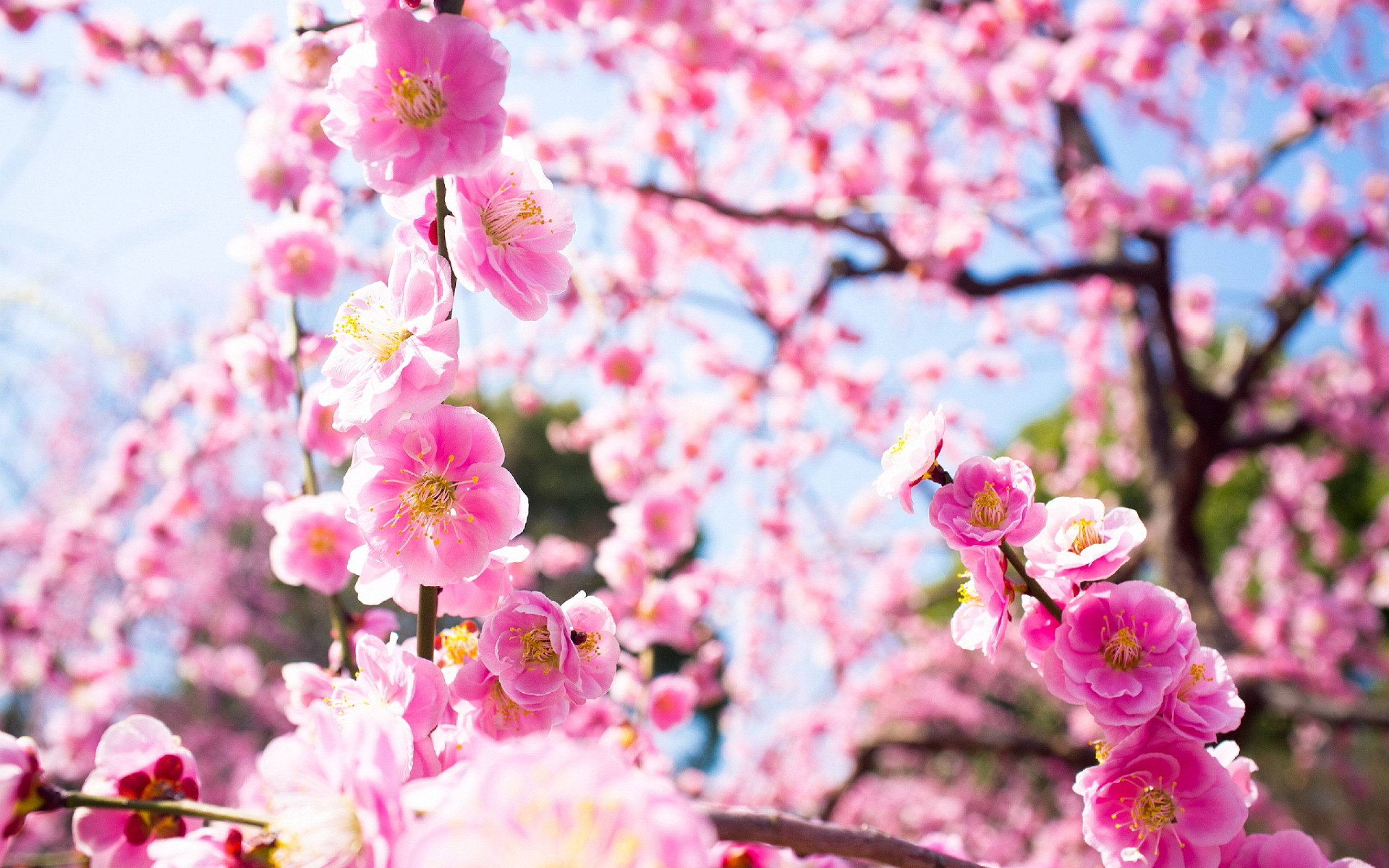 Japanese Cherry Blossom Wallpaper 1920x1080 Wallpapersafari