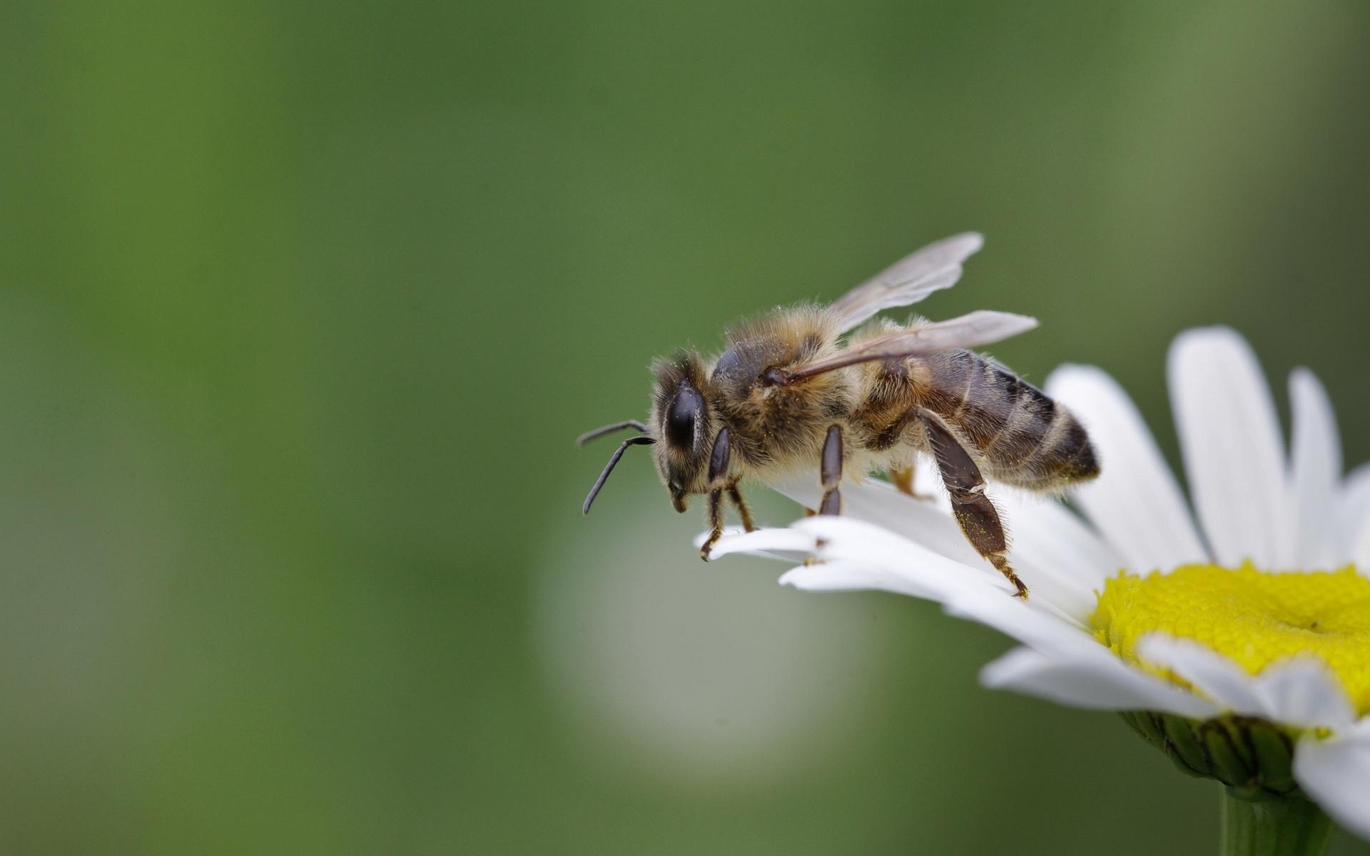 Bee wallpaper 29126 1920x1200