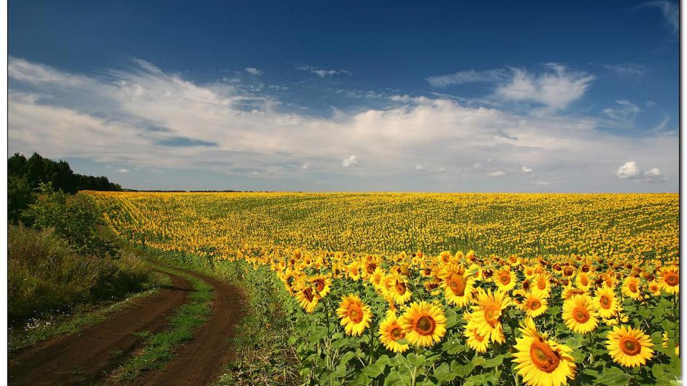 FIELD OF SUNFLOWERS WALLPAPER   58823   HD Wallpapers 1366x768