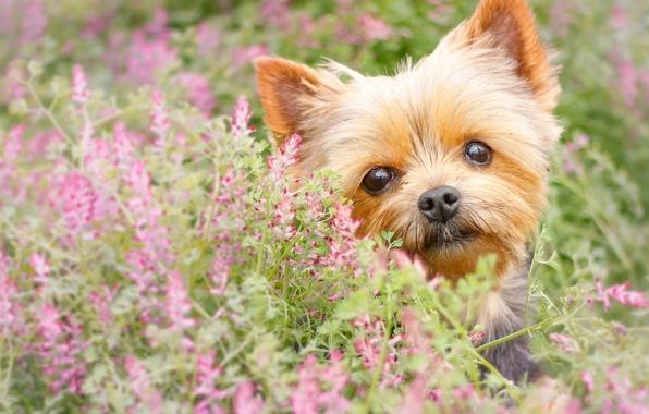 Wallpaper yorkshire terrier york dog face eyes flowers wallpapers 596x380