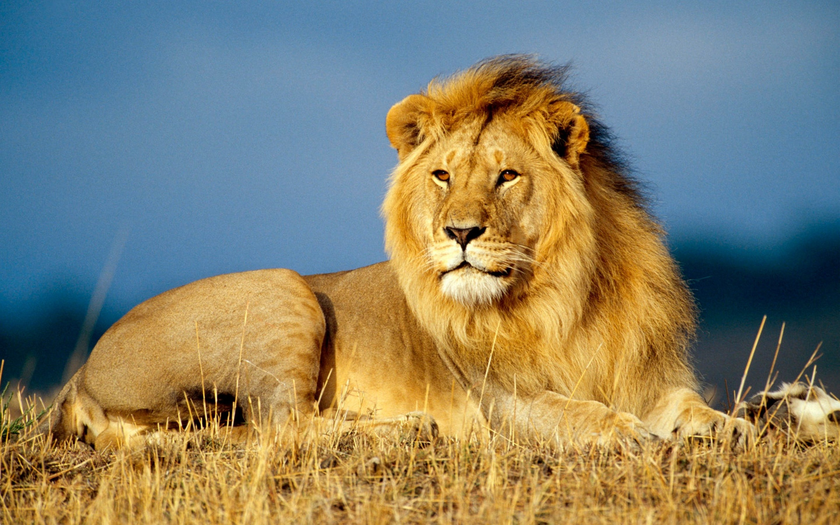 Lion HD Wallpaper Background Images 2880x1800