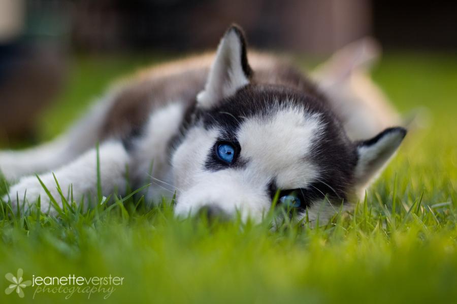 baby husky wallpaper desktop - photo #25