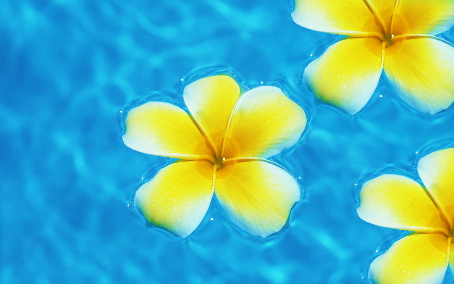 plumeria wallpaper wallpapersafari