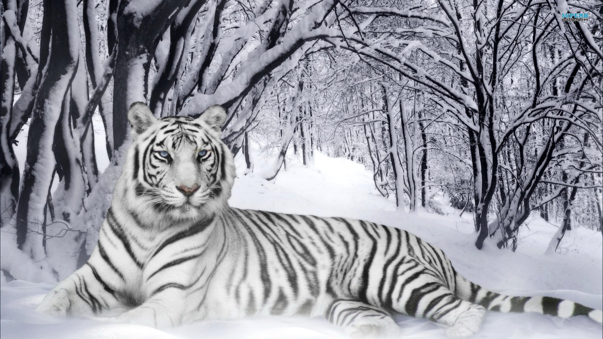 white tiger with blue eyes in snow wallpaper best hd wallpaper