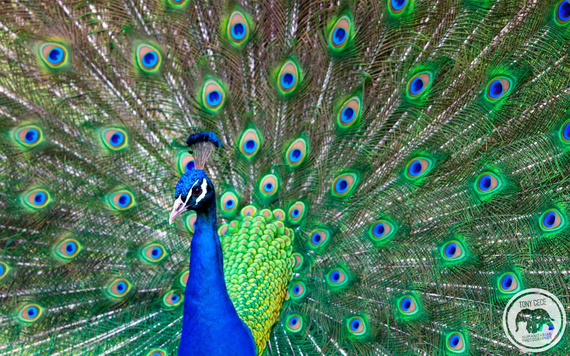 Peacock Wallpapers  Background Images Wallpaper Desktop