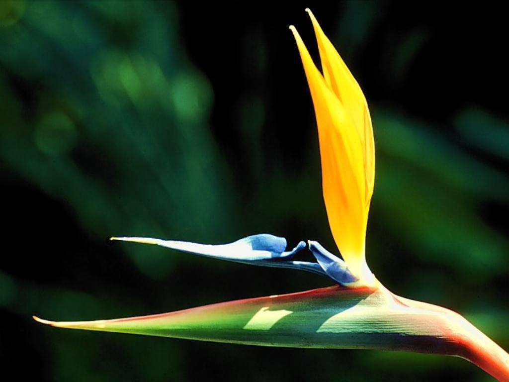 bird of paradise flower wallpaper wallpapersafari