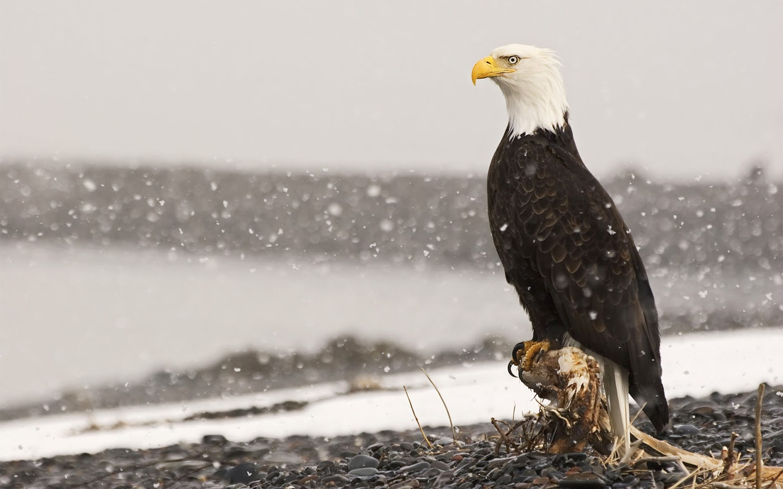 Photo of a bald eagle in the snow HD birds wallpapers 1600x1000
