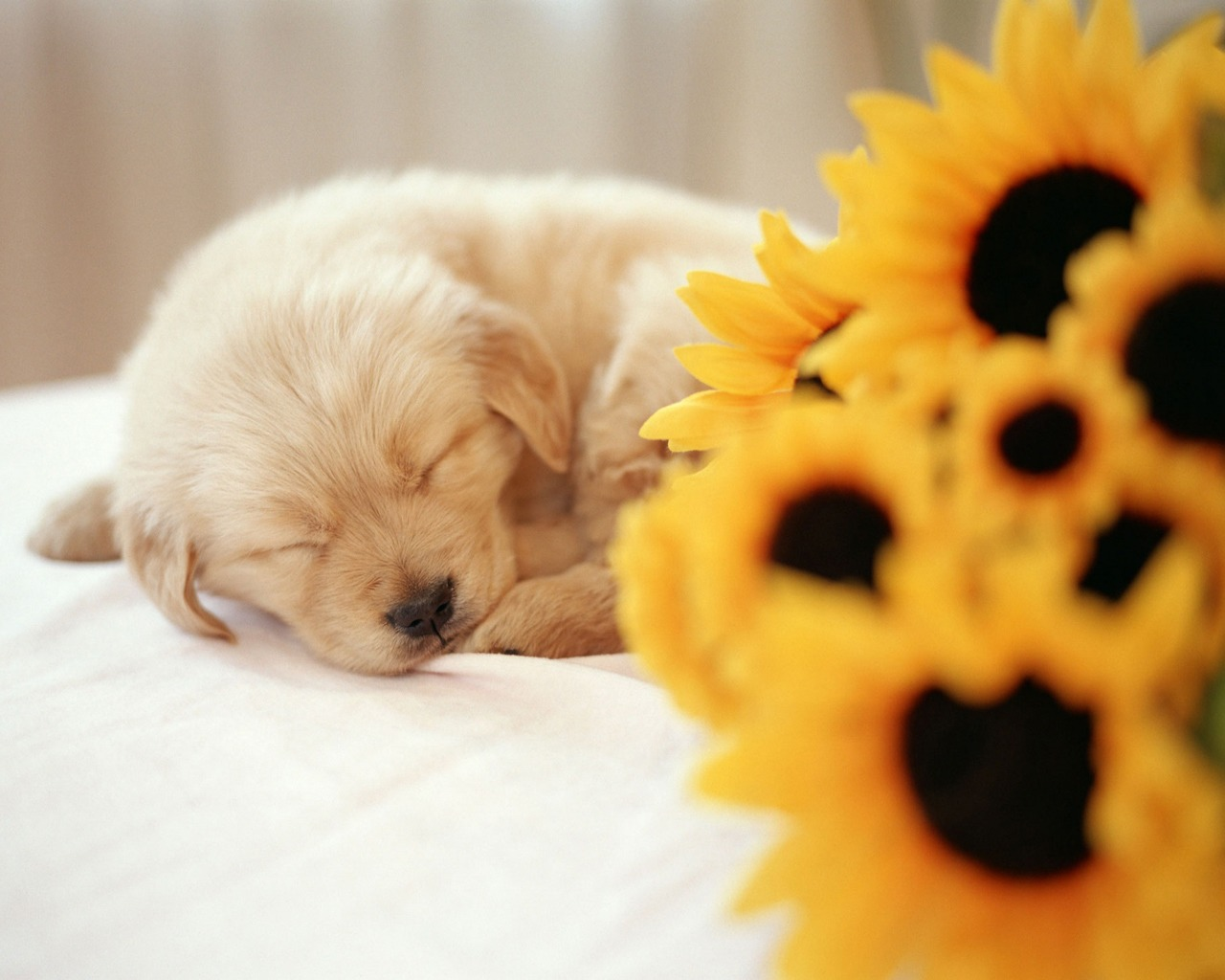 Fall Wallpaper With Dogs Sleeping puppy wallpaper dogs 1280x1024