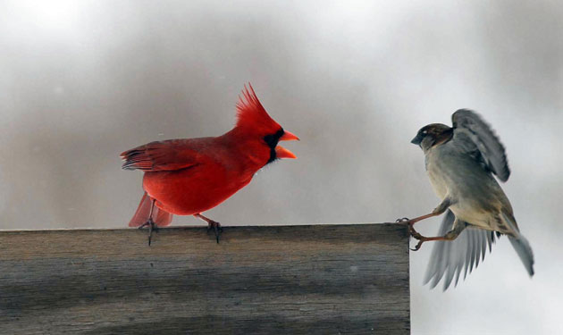 red cardinal chases a sparrow away from a feeder near Maysville 630x375