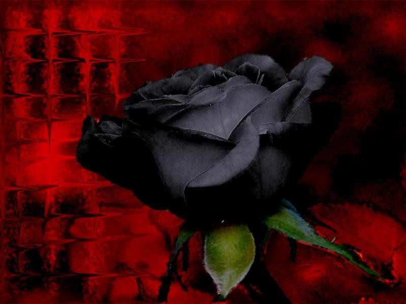 Yellow Color Wallpapers Black Rose Flowers 798x599