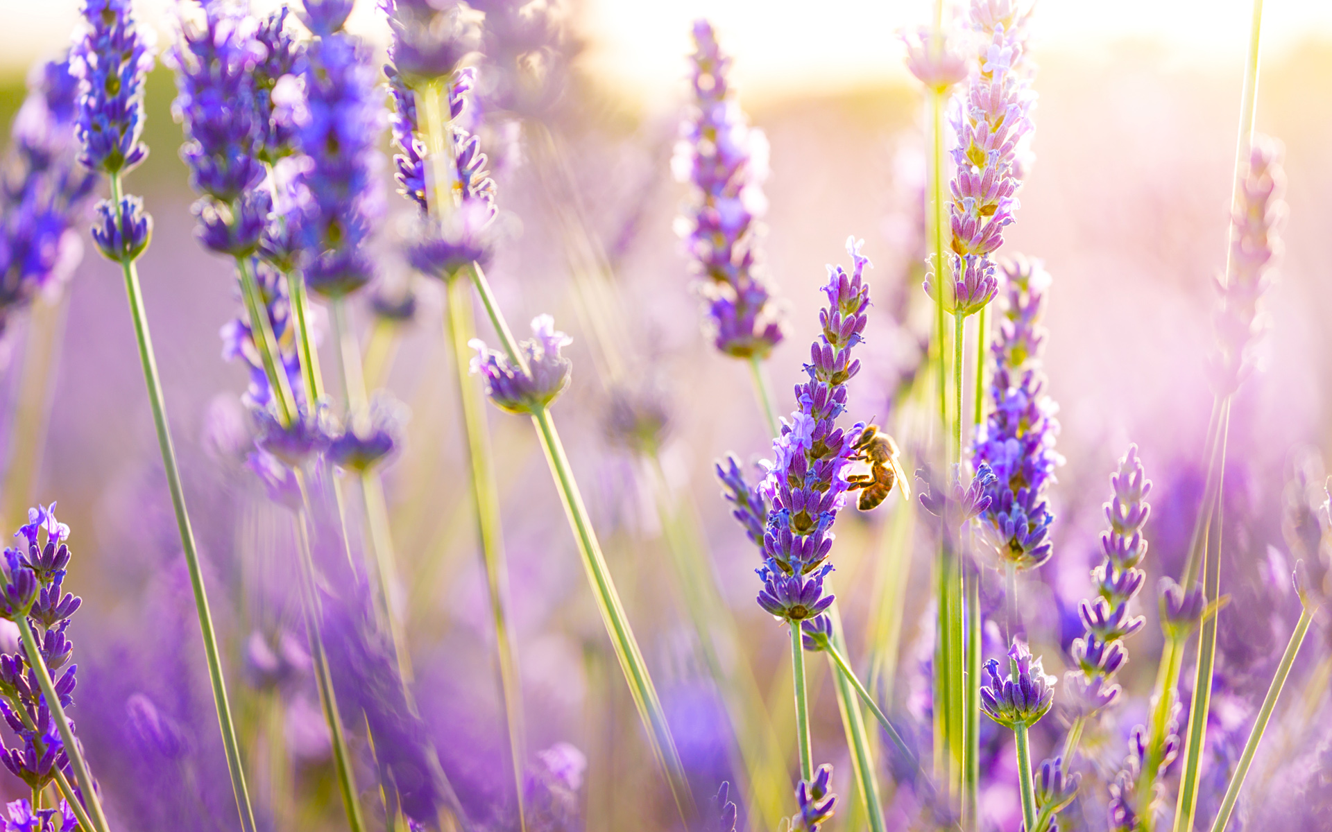 Lavender Flowers Wallpapers HD Wallpapers 1920x1200
