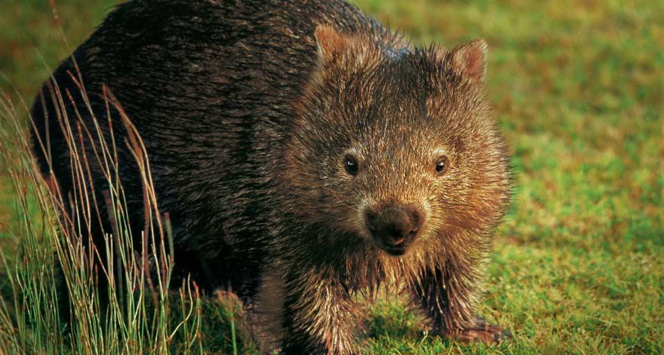 Bing Images   Wombat 958x512