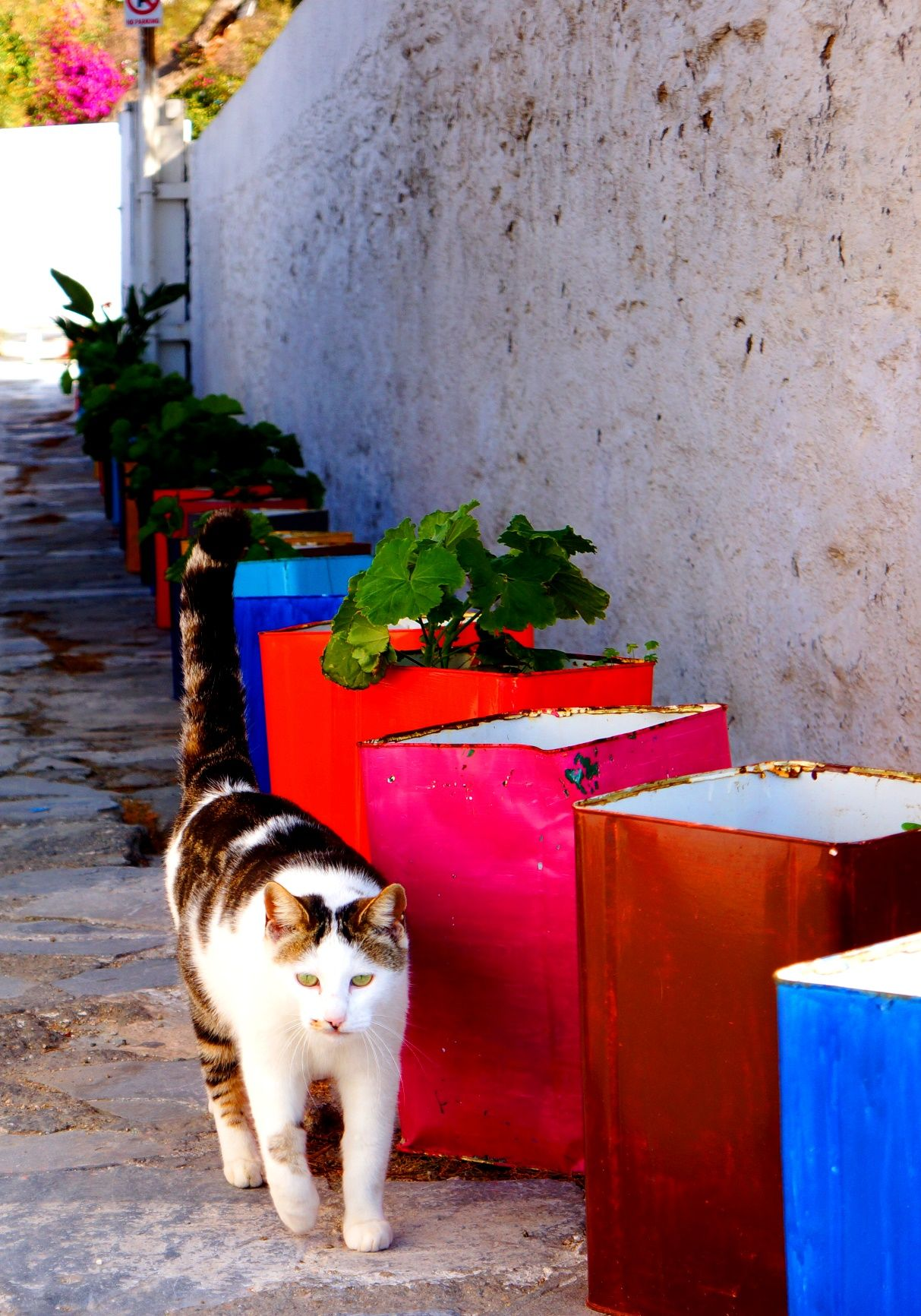 Cat taking a walk in Mykonos Island Greece Greek Island Cats 1213x1732