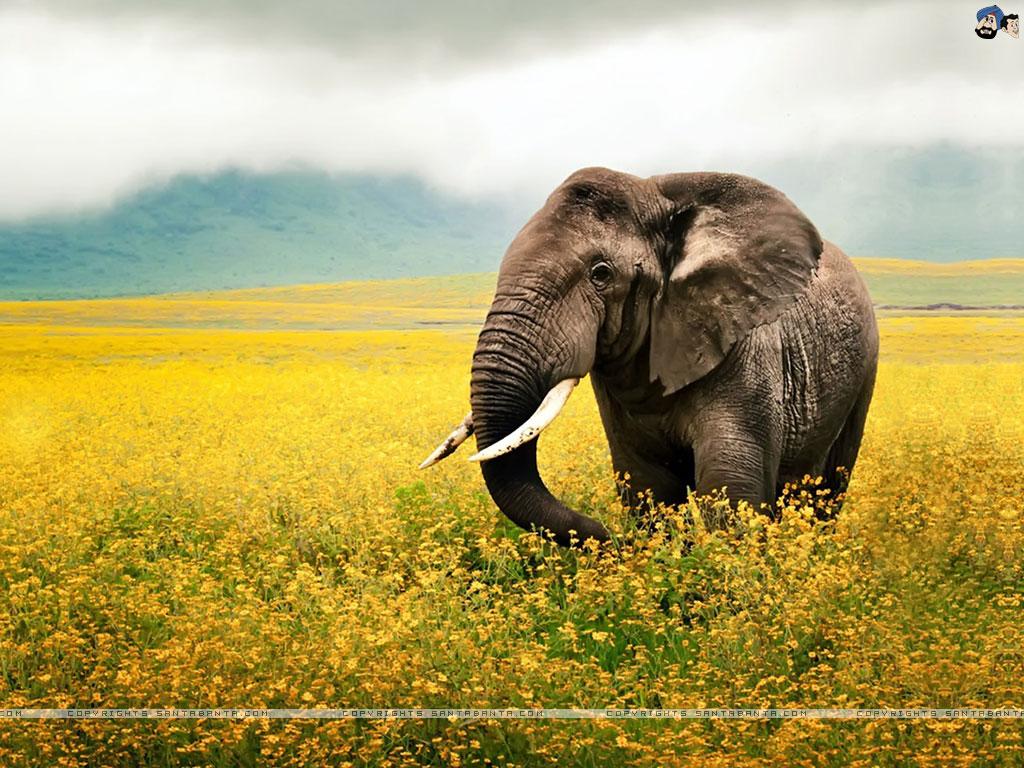 Hd wallpaper elephant - Free Download Elephants Hd Wallpaper 1