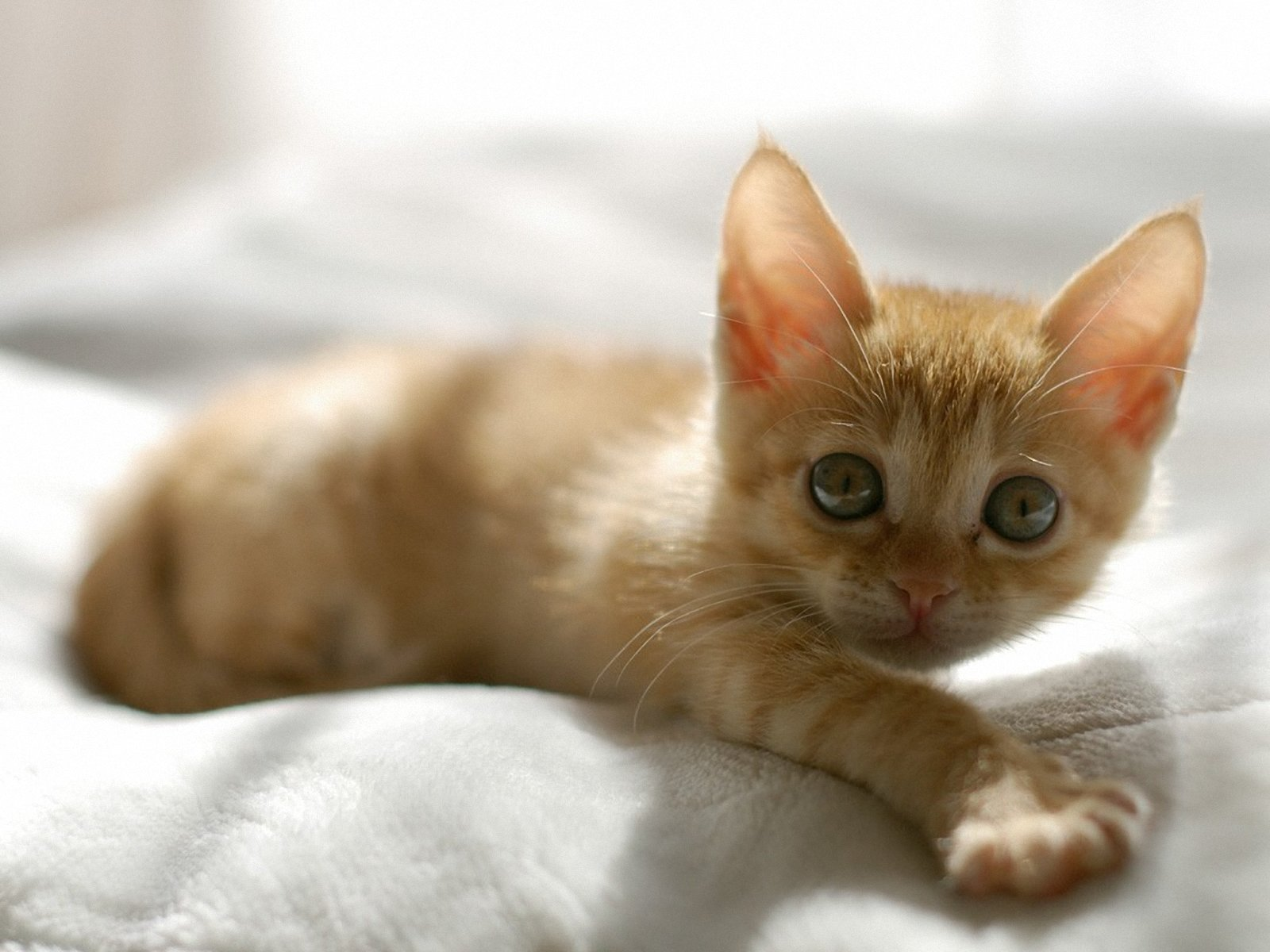1600x1200 Cute Orange Kitten desktop PC and Mac wallpaper 1600x1200