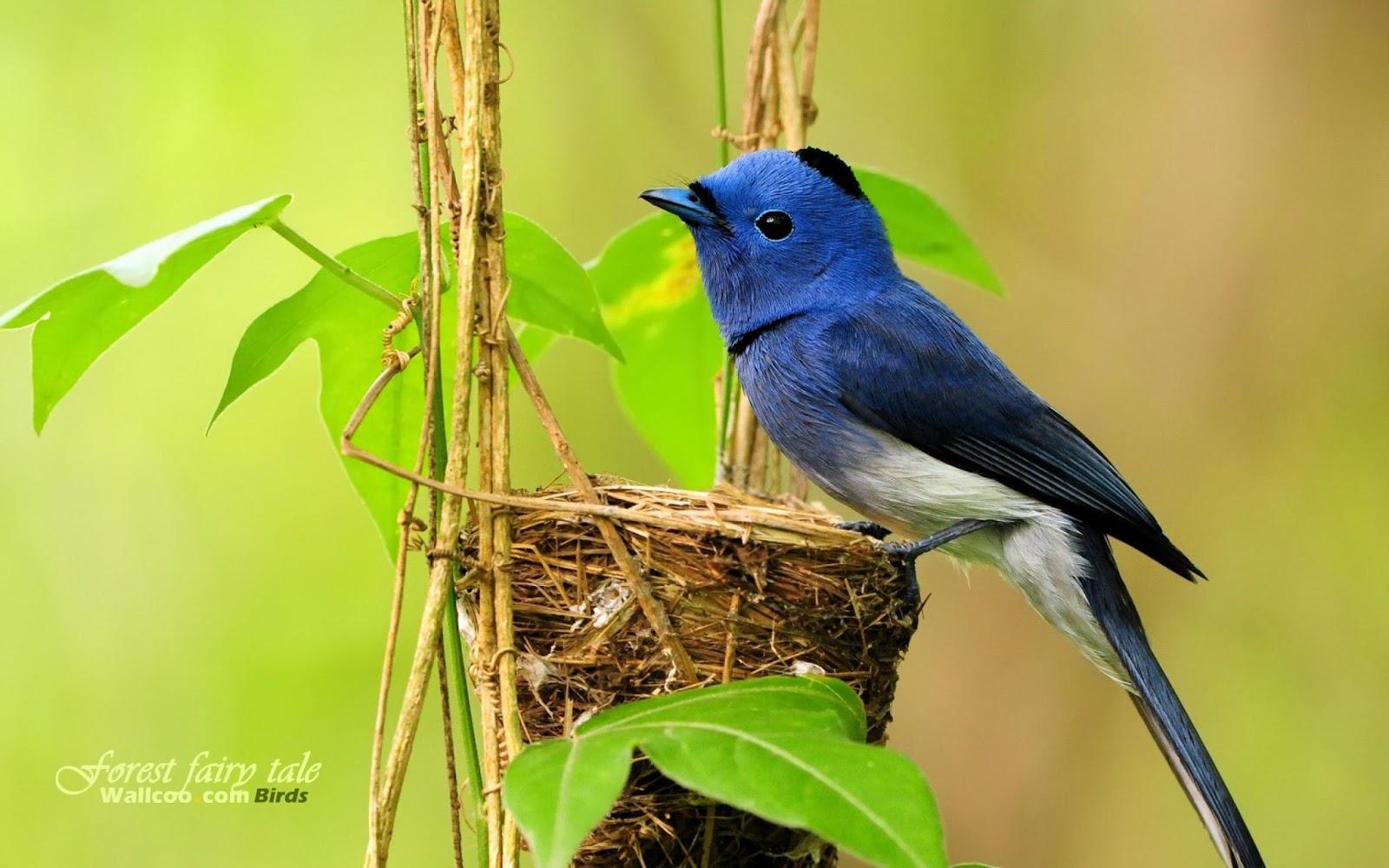 blue birds photos blue birds photos blue birds images blue 1600x1000