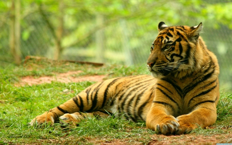 Groovy Free Download Nature Animals Tigers Wildlife 1920X1200 Best Image Libraries Weasiibadanjobscom