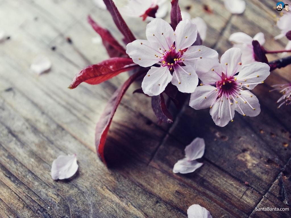 Cherry Blossoms 1024x768
