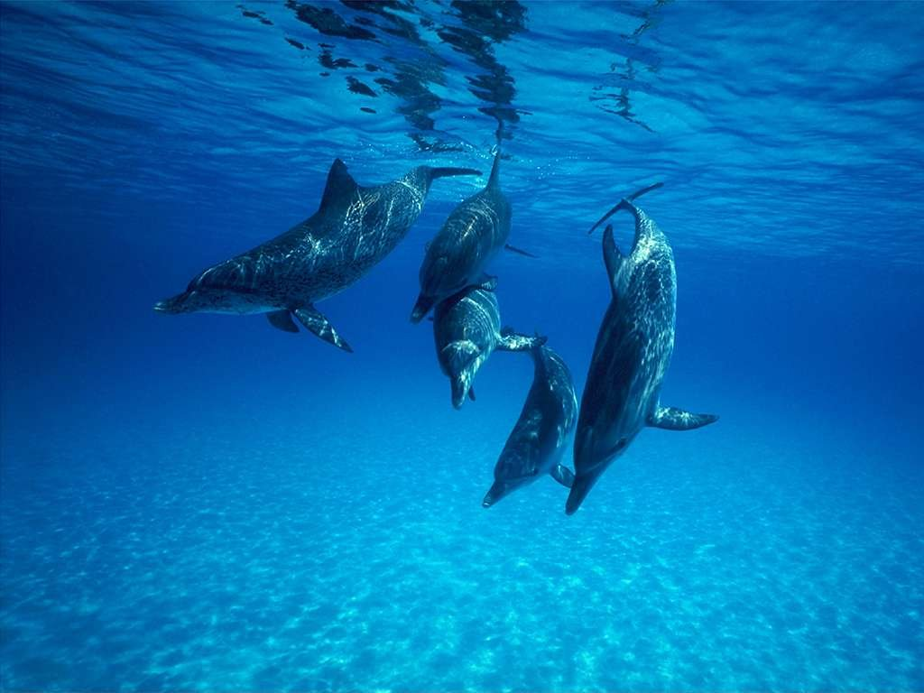 Dolphin Wallpaper 9867 Hd Wallpapers in Animals   Imagescicom 1024x768