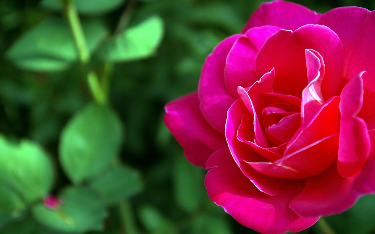 Wallpaper Gallery Rose Flower Wallpaper  1 1280x800