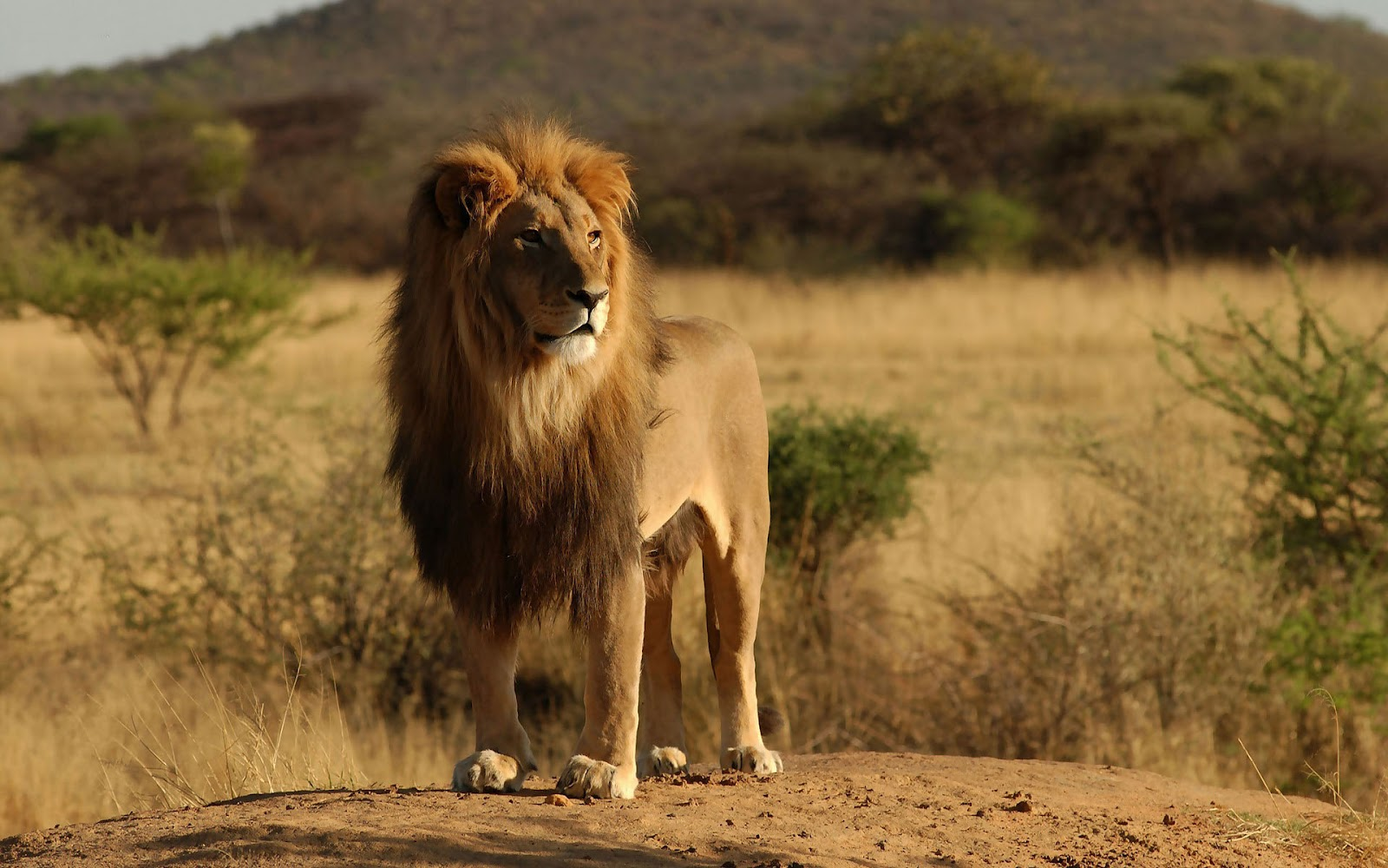 hd lion wallpaper with a big lion in the field lions wallpapers 1600x1000