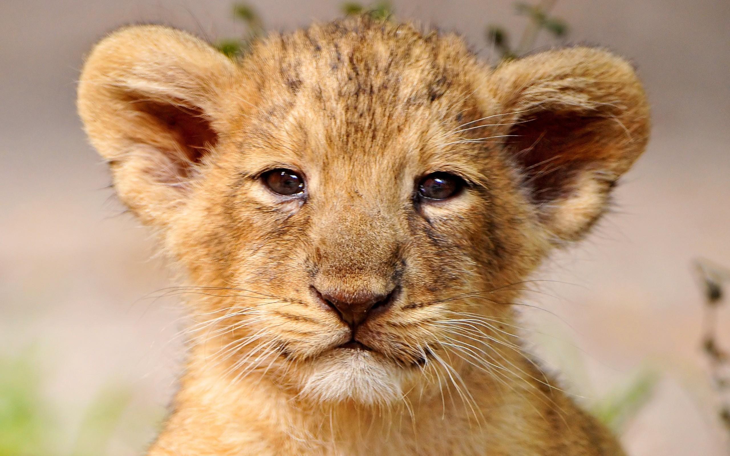 Baby Face Lion Wallpaper Desktop 5496 Wallpaper Wallpaper Screen 2560x1600