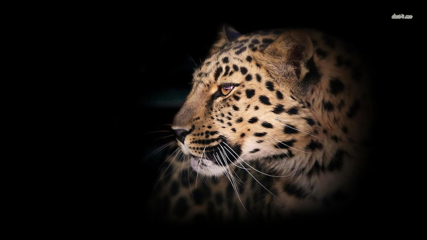 Leopard HD Images Wallpapers 1366x768