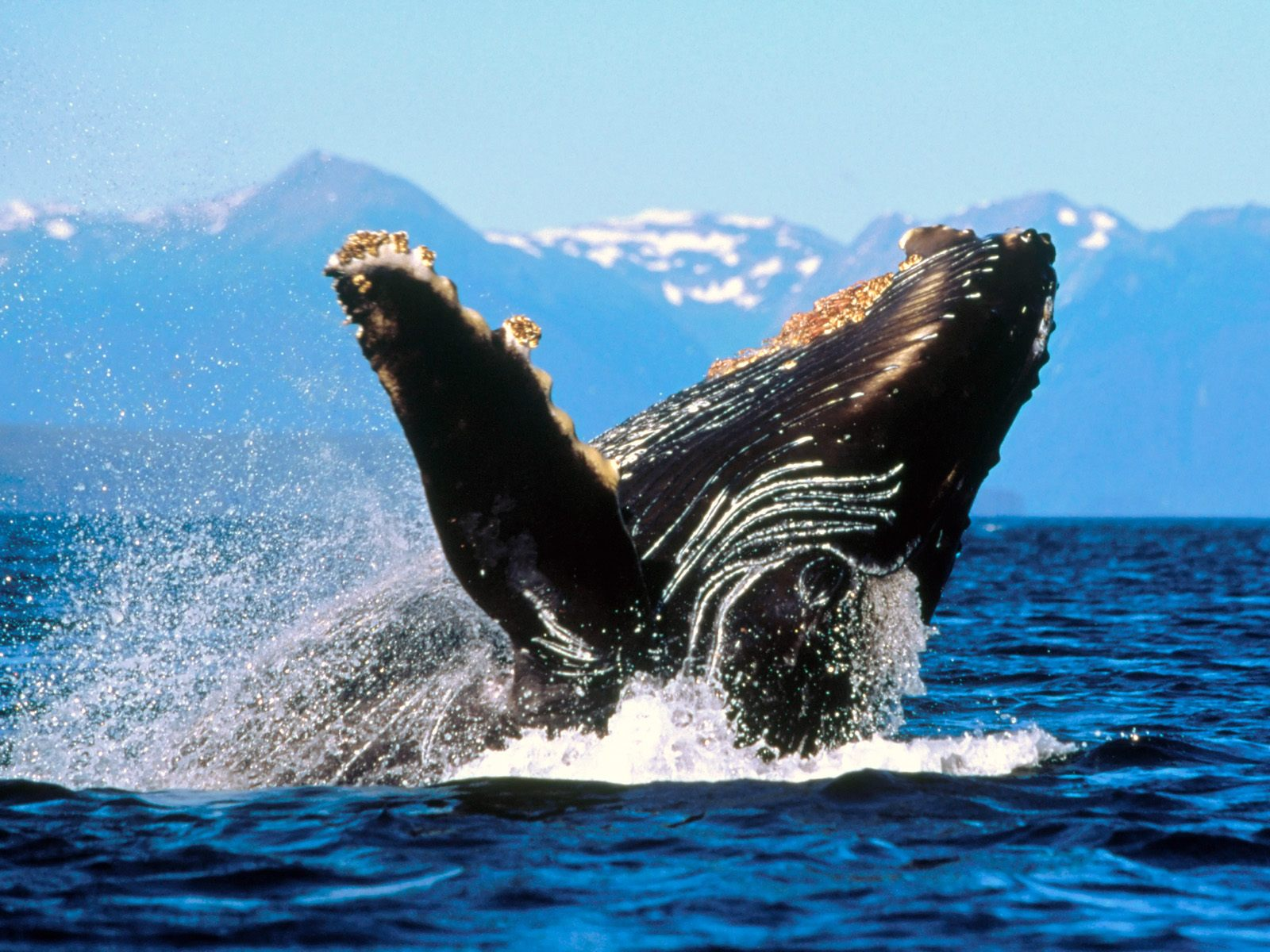 HQ Humpback Whale Alaska Wallpaper   HQ Wallpapers 1600x1200