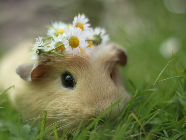Guinea pig wallpapers and images   wallpapers pictures photos 640x480